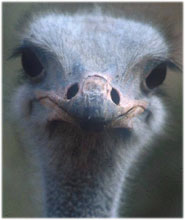 The Ostrich is of interest to look at bird vision in relation to eye size.