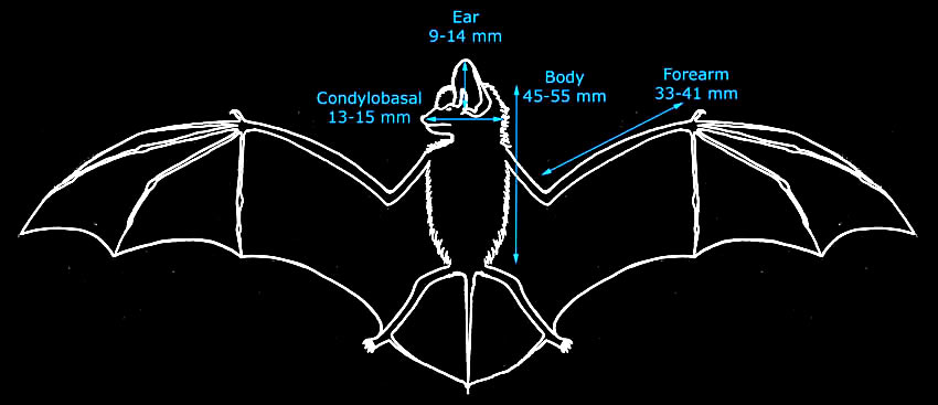 daubenton\u0027s bat Parts of a Rabbit Diagram