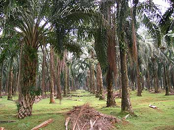board malaysia oil palm paper research The malaysian palm oil board the organic waste produced when processing oil palm trees the research into biomass has led to the development of wood and paper.
