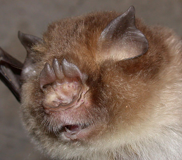 Aselliscus stoliczkanus, a trident-nosed bat from China