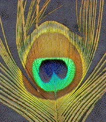 human-visible peacock feather