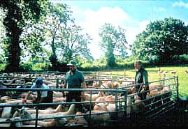 Members of the research group checking sheep for blowfly strike