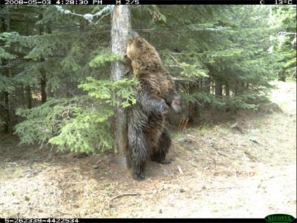 the main characteristics of bears and its species Species: ursus arctos (brown bear,  by about 36,000 years ago three main clades of brown bears in beringia  other physical characteristics largest brown bears.