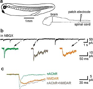 Glutamate and acetyl choline co-release by spinal neurons