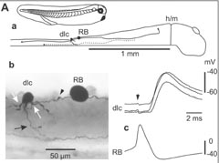 Paired recording shows that sensory Rohon-Beard neuron (RB) strongly excites sensory pathway dlc interneuron.