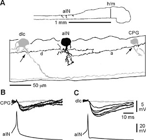 Primitive roles for inhibitory interneurons in developing frog spinal cord