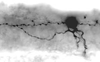 Ascending interneuron seen in spinal cord viewed from left side with brain to the left. Soma is about 10 um in diameter.
